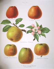 6 varieties of apple are depicted, all with yellow skins streaked with red, one is all red. Herefordshire Pomona pl.14, 1878.
