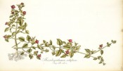 Figured is a succulent with ovate, bright green leaves and solitary red-purple flowers.  Jacquin IPR pl.487, 1781-1793.