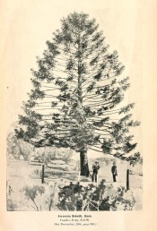 The photograph shows a Bunya pine in the Camden Park gardens in 1908.  Agricultural Gazette of NSW, June 2nd, p.3, 1908.