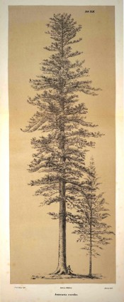 A lithograph shows a mature tree, presumably on Norfolk Island.  Die Coniferen t.XLII, 1840-41.