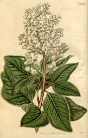 The image shows a flowering shoot with leaves and tubular white flowers.  Taken from Curtis's Botanical Magazine, t.2024, 1818.