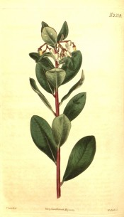 Image shows shoot with red bark, leaves and small, creamy white flowers.  Curtis's Botanical Magazine t.2319, 1822.