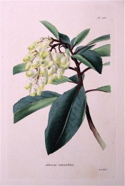 Figured are toothed, lance-shaped leaves and terminal panicle of white flowers.  Loddiges Botanical Cabinet no.580, 1821.
