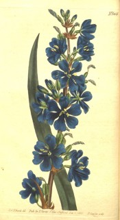 The image shows sword-shaped leaves and a spike of bright blue flowers.  Curtis's Botanical Magazine t.605, 1802.