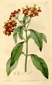 Shown are lance-shaped leaves and umbel-like cymes of orange-red flowers.  Botanical Register f.81, 1816.