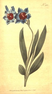 Figured are lance-shaped leave and blue flowers with red centre.  Curtis's Botanical Magazine t.410, 1798.
