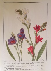Three species of Babiana are figured, the red-flowered B. villosa is on the right.  Rice, pl.CCXV.