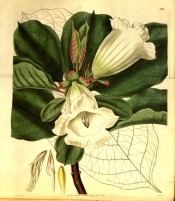 The image shows leaves and white trumpet-shaped flowers.  Curtis's Botanical Cabinet t.3213, 1833.