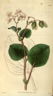 Illustrated are ovoid leaves, reddish stems and small pink flowers.  Curtis's Botanical Magazine t.2920, 1829.