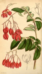 Figured are oblong-lanceolate, toothed leaves and pendant red flowers.  Curtis's Botanical Magazine t.4281, 1847.