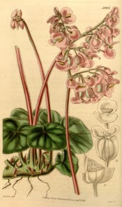 Figured are small hairy leaves and small rose-pink flowers in long-stalked clusters. Curtis's Botanical Magazine t.3968, 1842.