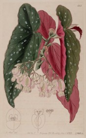 The image depicts a cane begonia with silver spotted leaves, red at the back, and pink flowers.  Botanical Register f.666, 1822.