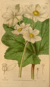 Figured are kidney-shaped leaves and large, white, eight-petalled flowers.  Curtis's Botanical Magazine t.3559, 1837.