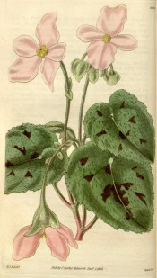 Figured are ovoid leaves with brown-purple patches and light pink flowers.  Curtis's Botanical Magazine t.2962, 1830.
