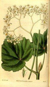 Illustrated are the grape vine-like leaves and small white flowers.  Curtis's Botanical Magazine t.3225, 1833.