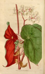 Figured are green leaves, deep red on the back, and white  flowers.  Curtis's Botanical Magazine t.3520, 1836.