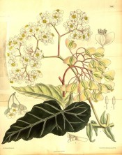 Illustrated are dark green, silver-veined leaves and numerous small white flowers.  Curtis's Botanical Magazine t.7842, 1902.
