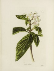 Shown are elm-like leaves and small white flowers.  Loddiges Botanical Cabinet no.638, 1822.