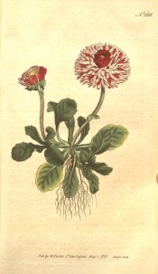 The whole plant is figured, roots, ovate leaves and double pink flowers.  Curtis's Botanical Magazine t.228, 1793.