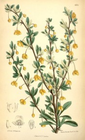 Shown are dark green leaves and orange-yellow flowers emerging from tufts of  leaves.  Curtis's Botanical Magazine t.6505, 1880.