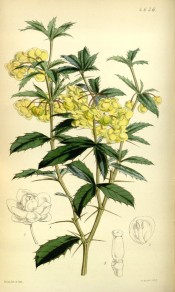 Figured are spiny stem and leaves and axillary racemes of pale yellow flowers. Curtis's Botanical Magazine t.4656, 1852.