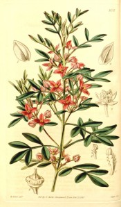 Illustrated are the pinnate leaves and axillary clusters of deep rose-coloured flowers.  Curtis's Botanical Magazine t.4052,1843