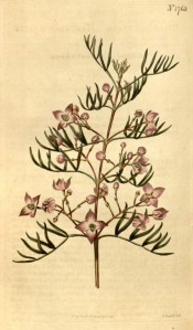 Figured are pinnate leaves and deep pink flowers in loose axillary cymes.  Curtis's Botanical Magazine t.1763, 1815.