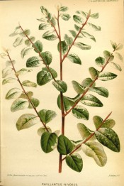 Figured is red stem with deep green leaves variegated white.  Illustration Horticole pl.332/1878.