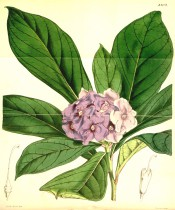 Figured is a hydrangea-like shrub with terminal cyme of purple flowers.  Curtis' Botanical Magazine t.4209, 1846.