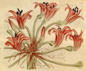 Depicted is a flowering scape with bright red, boat-shaped flowers.  Curtis's Botanical Magazine t.1619, 1814.