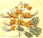Shown are 2-pinnate leaves and erect racemes of bowl-shaped orange-yellow flowers.  Curtis's Botanical Magazine t.995, 1807.