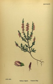 Figured is the whole plant, small leaves and racemes of pink bell-shaped flowers.   English Botany vol.6, pl.DCCCXCIV, 1866.