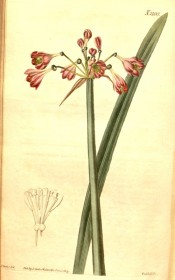 Illustrated are leaf and flowering stem with red-pink, funnel-shaped flowers.  Curtis's Botanical Magazine t.2100/1819.