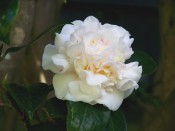 A beautiful, very double, white, pink-flushed camellia.
