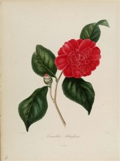 The picture shows a very double cherry red camellia flower.