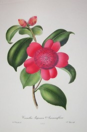 Depicted is a bright red flower with 5 outer petals and a globular mass of inner petals.  Chandler pl.8, 1831