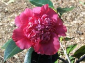 Illustrated is a camellia with bright red flowers, the inner petals small and jumbled.  Camden Park.