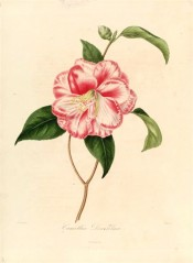Figured is a camellia with double white flowers, strongly marbled red, with some petals red or white.  Berlèse vol.1 pl.9, 1841.