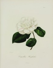 Figured is a double anemone-form, pure white camellia with pale pink stripes.  Berlèse v.II pl.177, 1843.