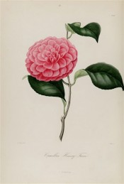 Figured is a deep pink, double flower with imbricated petals.  Berlèse v.1 pl.99, 1841.