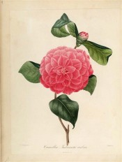 Figured is a double red camellia with regularly imbricated petals.  Berlèse Iconographie vol 1 pl.8, 1841.