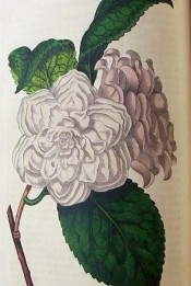 figured is a double camellia, petals arranged in six rows, pale blush in colour.  Botanical Register f.112, 1816.
