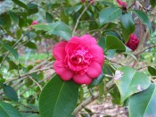 Shown is a bright crimson camellia, very double, outer petals large and flat, inner crowded and erect.  Photograph Colin Mills.