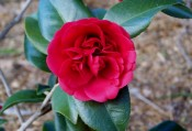 Figured is a scarlet crimson camellia, outer two petal rows large and flat, inner smaller, erect and confused.  CP photograph.