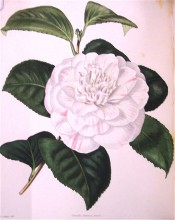 Figured is a double camellia, the petals having a white ground with pink stripes.  Loddiges Botanical Cabinet no.1745, 1833.
