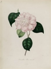 Illustrated is a camellia with a white ground spotted and striped with crimson.  Berlèse Iconographie vol.1 pl.38, 1841.