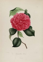 Figured is a double camellia with red flowers, the petals irregular and finely veined.  Berlèse Iconographie vol.1 pl.81, 1841.