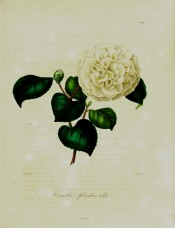 Figured is a very double pure white camellia, the central petals contortd.  Berlèse Iconographie vol.I pl.89, 1841.