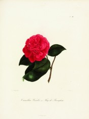 Figured is a bright cherry-red, very double camellia.  Berlèse Iconographie vol.II pl.188/1843.