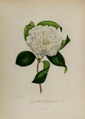Figured is a double white camellia with scattered stamens.  Berlèse Iconographie vol.1 pl.12, 1841.